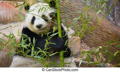Panda eating bamboo shoots and leaves