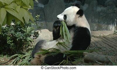 Panda eats bamboo leaves and shoots