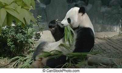 Panda eats bamboo leaves and shoots. UltraHD 2160p 4k video