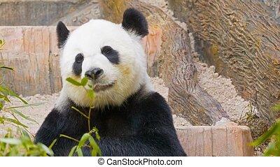 Panda eats bamboo leaves