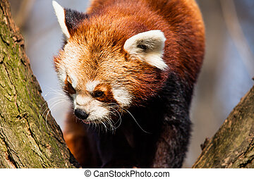 panda, fulgens), arbre, zoo., séance, (ailurus, rouges