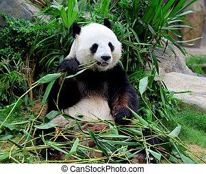 panda géant, manger, bambou