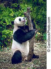 panda, gigante