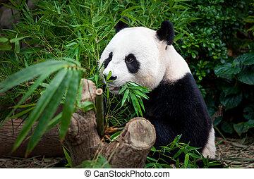 panda, hambriento, gigante