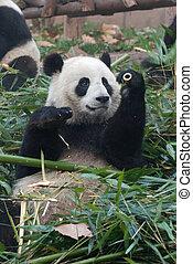 Panda In Bamboo