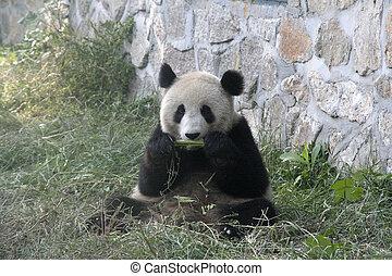Panda in Beijing Zoo