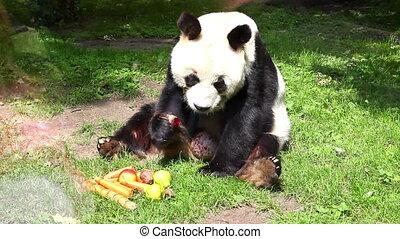 Panda in Captivity