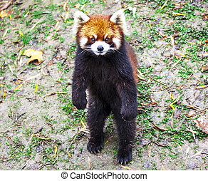 panda., legs.red, stands, panda, biche, sien, rouges,...