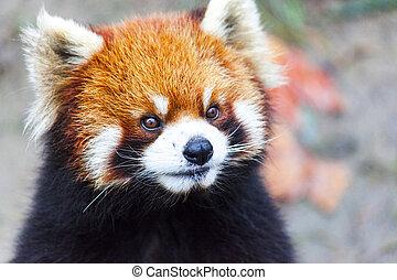 panda., mâle, pré, figure, china., panda, rouges