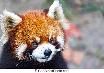 panda., meadow., mâle, figure, china., panda, rouges