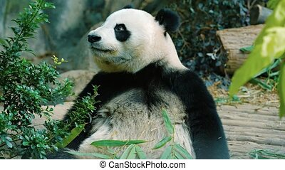 Panda chewing bamboo leaves as it holds the stems in its enormous paws, in his habitat enclosure at a public. UltraHD video