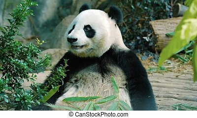 Panda Munching on Bamboo Leaves and Shoots. video