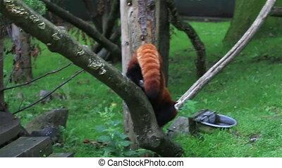 panda, rotes