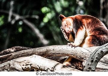 panda rouge, ours, arbre