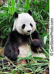 panda, sauvage