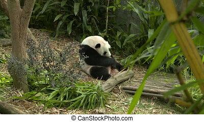 Panda sitting and licking itself - Wide shot of an panda...