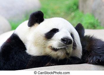panda, sova