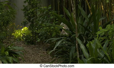 Panda wandering forwards through bushes - A wide shot of a...