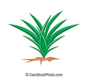 pandan, fris, plant, witte achtergrond