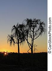 pandanus trees in the sunset a - pandanus trees in the...
