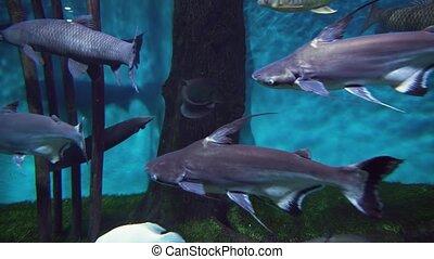 Pangasianodon hypophthalmus in freshwater aquarium stock...
