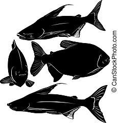 pangasius,  colossoma, pez
