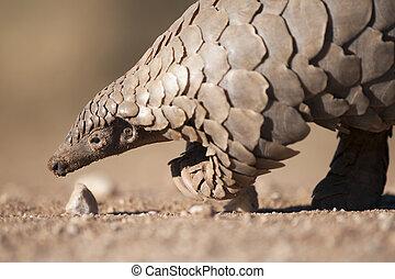 Pangolin in the Kalahari