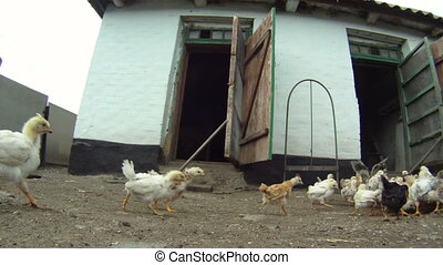 Panic - A flock of chickens eating their food which lies on...
