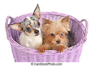 panier, chiots, chihuahua, terrier, yorkshire