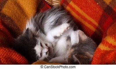 panier, jouer, osier, ensemble, adorable, chaton