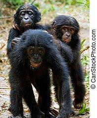 (, paniscus), tre, scimpanzé, cubs, pan, bonobo
