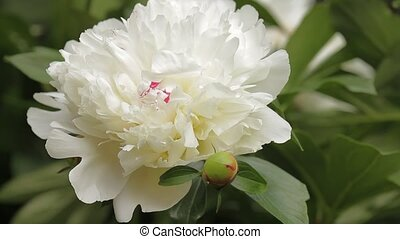 Pannig of closeup white peony flowers blossom in garden - blur background