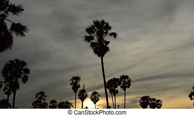 panning of silhouette toddy palm tree on sunset sky in paddy...