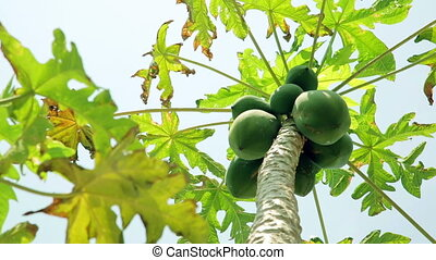 Panning- Papaya tree