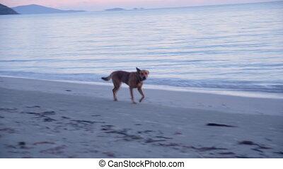 Panning shot of a dog on beach