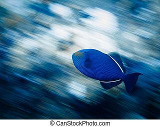 Panning shot of blue triggerfish swimming on reef