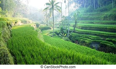 Panning shot of Tegalalang rice paddies in the heart of Bali, Ubud, Indonesia. Sunny day.