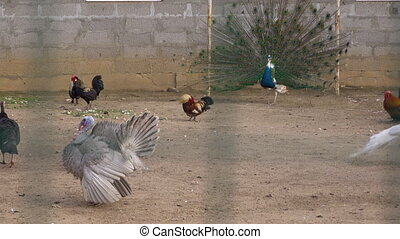 Panning view of farm birds - chicken, peacock and turkey in aviary outdoors. Raising birds in a cage