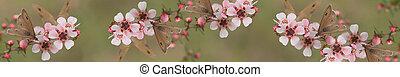 panorámico, australiana, bandera, mariposa, y, leptospernum,...
