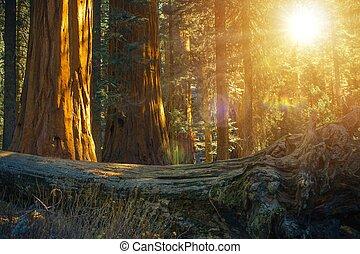 panorâmico, sequoia, floresta
