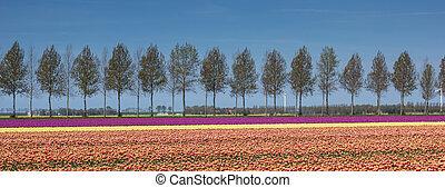 panorama, de, tulipanes, campo, por, un, treeline