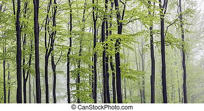 panorama, faia, floresta