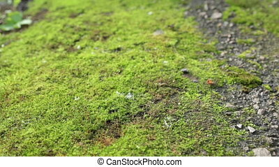 Panorama fresh green moss. Texture and background. Close-up