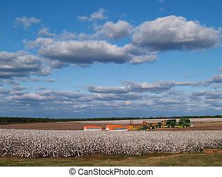 panorama, katoen, oogsten, akker