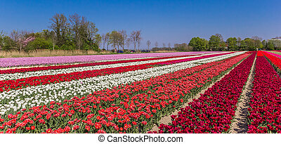 Panorama of a colorful field of dutch tulips