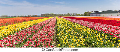 Panorama of a colorful tulips field in Holland