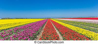Panorama of a colorful tulips field in Noordoostpolder