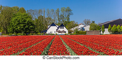 Panorama of a field of red tulips and farm