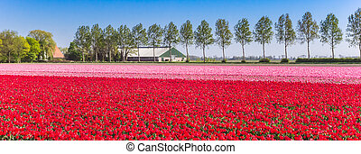 Panorama of a field with red and pink tulips in Noordoostpolder