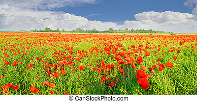 Panorama of a field with the flowering poppies